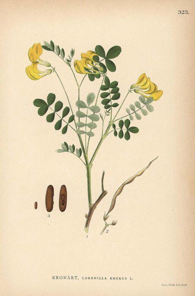 "Scorpion senna, Coronilla emerus. Chromolithograph from Carl Lindman's ""Bilder ur Nordens Flora"" (Pictures of Northern Flora), Stockholm, Wahlstrom & Widstrand, 1905. Lindman (1856-1928) was Professor of Botany at the Swedish Museum of Natural History (Naturhistoriska Riksmuseet). The chromolithographs were based on Johan Wilhelm Palmstruch's ""Svensk botanik,"" 1802-1843. : Stock Photo"