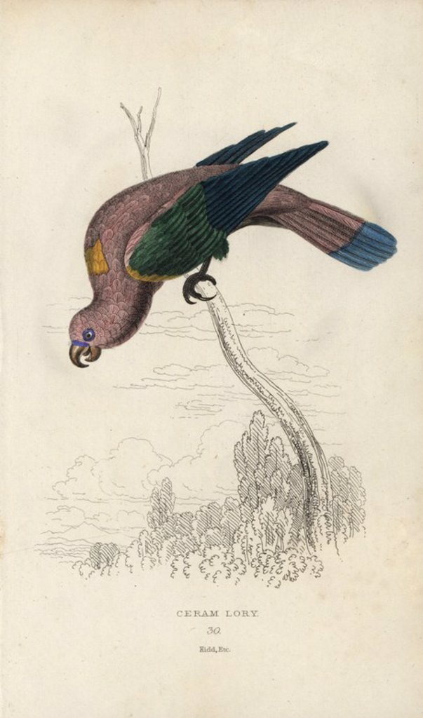 "Stock Photo: 4409-70678 Chattering lory, Lorius garrulus. Ceram lory, Psittacus garrulus. The bird's rich metallic scarlet plumage rendered a steely pink. Hand-coloured steel engraving by Joseph Kidd (after John Audubon) from Sir Thomas Dick Lauder and Captain Thomas Brown's ""Miscellany of Natural History: Parrots,"" Edinburgh, 1833. The Miscellany was intended to be a multi-volume series, but was brought to an abrupt halt after only the second volume on cats when John Audubon complained about the unauthorized use of hi"