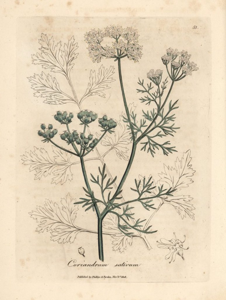 "Stock Photo: 4409-70788 White flowered coriander, Coriandrum sativum. Handcolored copperplate engraving from a botanical illustration by James Sowerby from William Woodville and Sir William Jackson Hooker's ""Medical Botany"" 1832. The tireless Sowerby (1757-1822) drew over 2,500 plants for Smith's mammoth ""English Botany"" (1790-1814) and 440 mushrooms for ""Coloured Figures of English Fungi "" (1797) among many other works."
