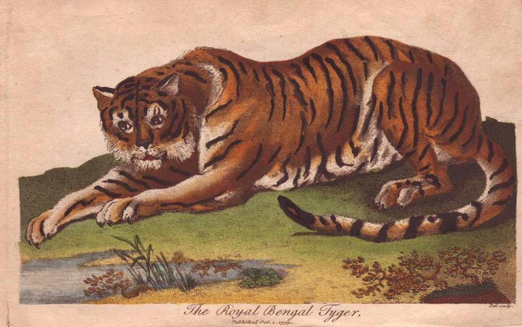 "Stock Photo: 4409-70789 Royal Bengal Tiger. . Panthera tigris tigris. . Hand-colored copperplate engraving from a drawing by Johann Ihle from Ebenezer Sibly's ""Universal System of Natural History"" 1794. . . The prolific Sibly published his Universal System of Natural History in 1794~1796 in five volumes covering the three natural worlds of fauna, flora and geology. The series included illustrations of mythical beasts such as the sukotyro and the mermaid, and depicted sloths sitting on the ground (instead of hanging fro"