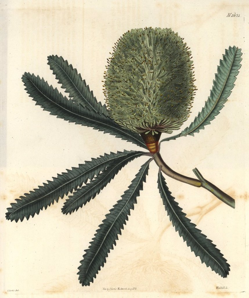 "Stock Photo: 4409-70828 Rival banksia or Wallum banksia. Banksia aemula (Banksia serrata). llustration by C. Curtis (Samuel's daughter?), engraved by Weddell. Handcolored copperplate engraving from Samuel Curtis's ""The Curtis Botanical Magazine"" 1826.. . Samuel Curtis, cousin and son-in-law to William Curtis, took over the Botanical Magazine in 1826. Samuel re-named it ""The Curtis Botanical Magazine"" and enlisted the help of William Jackson Hooker, Professor of Botany at Glasgow University. Samuel Curtis' daughters dre"
