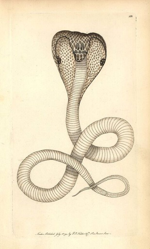 "Indian cobra, Naja naja. Illustration signed (George Shaw and Frederick Nodder).. Handcolored copperplate engraving from George Shaw and Frederick Nodder's ""The Naturalist's Miscellany"" 1794.. Frederick Polydore Nodder (1751~1801?) was a gifted natural history artist and engraver. Nodder honed his draftsmanship working on Captain Cook and Joseph Banks' Florilegium and engraving Sydney Parkinson's sketches of Australian plants. He was made ""botanic painter to her majesty"" Queen Charlotte in 1785. : Stock Photo"