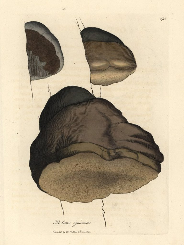 "Stock Photo: 4409-70951 Touchwood boletus or agaric mushroom, Boletus igniarius. Handcolored copperplate engraving from a botanical illustration by James Sowerby from William Woodville and Sir William Jackson Hooker's ""Medical Botany"" 1832. The tireless Sowerby (1757-1822) drew over 2,500 plants for Smith's mammoth ""English Botany"" (1790-1814) and 440 mushrooms for ""Coloured Figures of English Fungi "" (1797) among many other works."