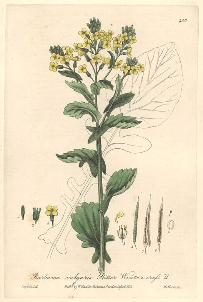 "Stock Photo: 4409-71044 Bitter winter cress, Barbarea vulgaris. Handcoloured copperplate engraved by Charles Mathews from a drawing by Isaac Russell from William Baxter's ""British Phaenogamous Botany,"" Oxford, 1841. Scotsman William Baxter (1788-1871) was the curator of the Oxford Botanic Garden from 1813 to 1854."