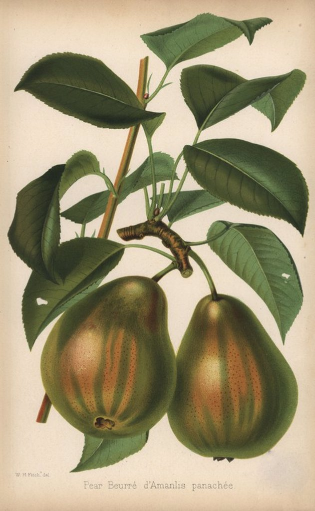 "Stock Photo: 4409-71056 Pear cultivar, Beurre d'Amarilis panachee, Pyrus communis. Chromolithograph from ""The Florist and Pomologist"" Robert Hogg, London, published from 1878 to 1884. 251 hand-coloured and chromolithographic plates of fruit and flowers. Drawn by Walter Hood Fitch, Miss E. Regel, and J.L. Macfarlane, lithographed by G. Severeyns and Stroobant, Belgium."