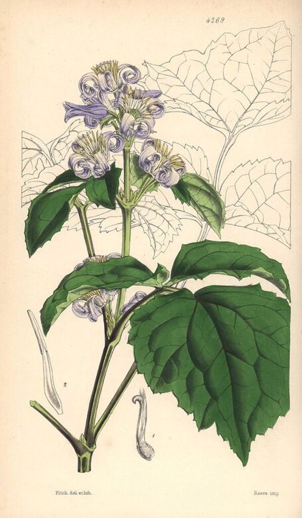 "Stock Photo: 4409-71079 Virgin's bower, Clematis tubulosa. Hand-coloured botanical illustration drawn and lithographed by Walter Hood Fitch for Sir William Jackson Hooker's ""Curtis's Botanical Magazine,"" London, Reeve Brothers, 1846. Fitch (1817~1892) was a tireless Scottish artist who drew over 2,700 lithographs for the ""Botanical Magazine"" starting from 1834."