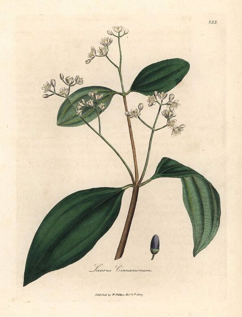 "Stock Photo: 4409-71088 White-flowered Cinnamon tree with purple drupe, Laurus cinnamomum. Handcolored copperplate engraving from a botanical illustration by James Sowerby from William Woodville and Sir William Jackson Hooker's ""Medical Botany"" 1832. The tireless Sowerby (1757-1822) drew over 2,500 plants for Smith's mammoth ""English Botany"" (1790-1814) and 440 mushrooms for ""Coloured Figures of English Fungi "" (1797) among many other works."