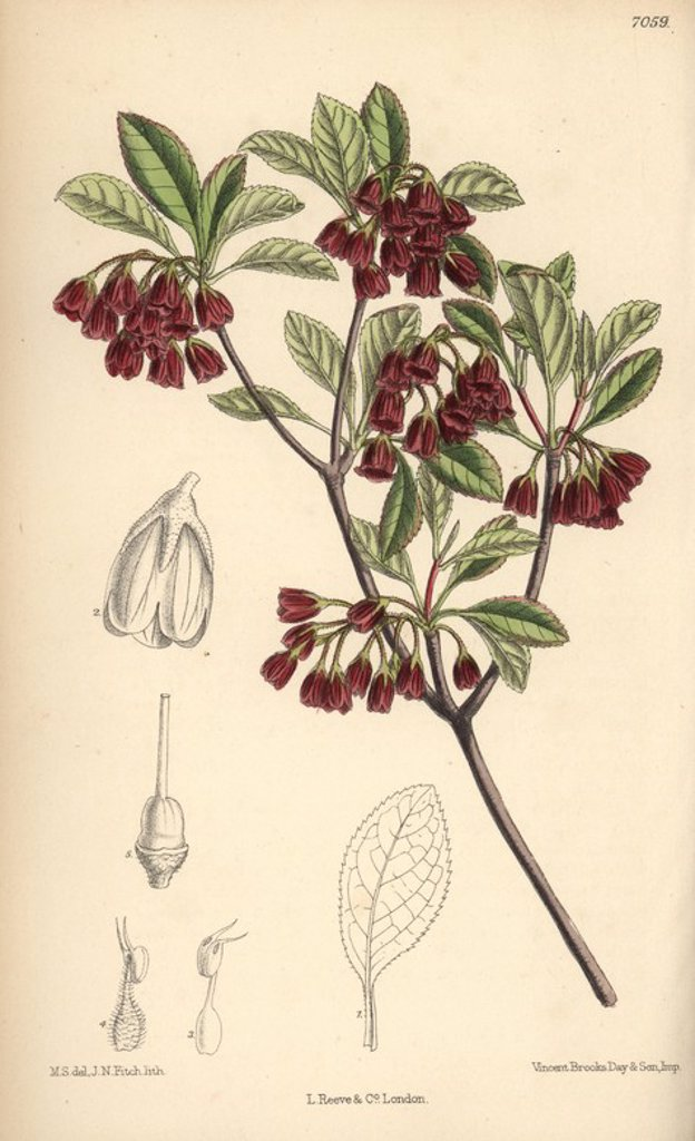 "Enkianthus campanulatus, native of Japan. Hand-coloured botanical illustration drawn by Matilda Smith and lithographed by J.N. Fitch from Joseph Dalton Hooker's ""Curtis's Botanical Magazine,"" 1889, L. Reeve & Co. A second-cousin and pupil of Sir Joseph Dalton Hooker, Matilda Smith (1854-1926) was the main artist for the Botanical Magazine from 1887 until 1920 and contributed 2,300 illustrations. : Stock Photo"