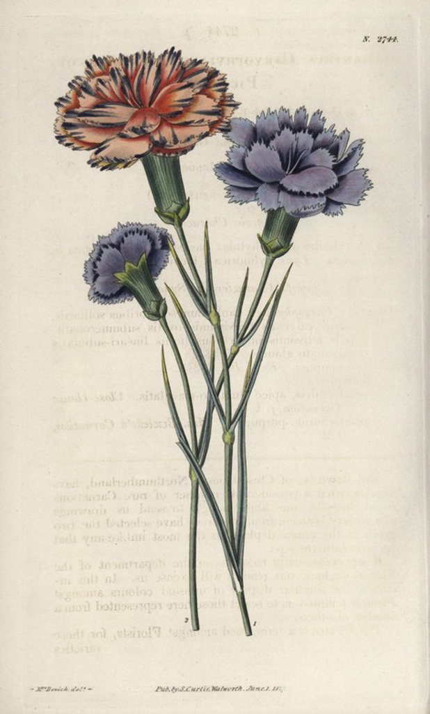 """Varieties of picotees or fringed carnations, salmon-pink with black lines, and lilac blue. . . Dianthus caryophyllus. . Illustration by WJ Hooker, engraved by Swan. Handcolored copperplate engraving from William Curtis's """"The Botanical Magazine"""" 1827.. . William Jackson Hooker (1785-1865) was an English botanist, writer and artist. He was Regius Professor of Botany at Glasgow University, and editor of Curtis' """"Botanical Magazine"""" from 1827 to 1865. In 1841, he was appointed director of the Royal : Stock Photo"""