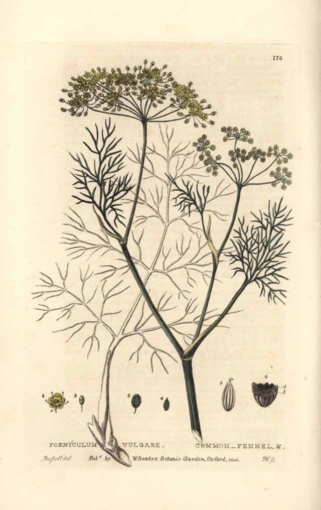 "Stock Photo: 4409-71419 Fennel, Foeniculum vulgare. Handcoloured copperplate engraving from a drawing by Isaac Russell from William Baxter's ""British Phaenogamous Botany"" 1834. Scotsman William Baxter (1788-1871) was the curator of the Oxford Botanic Garden from 1813 to 1854."