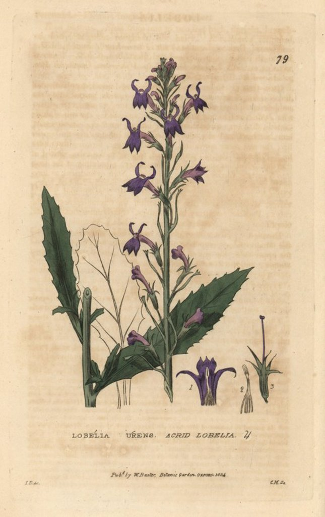 "Acrid lobelia, Lobelia urens. Handcoloured copperplate engraving from a drawing by Isaac Russell from William Baxter's ""British Phaenogamous Botany"" 1834. Scotsman William Baxter (1788-1871) was the curator of the Oxford Botanic Garden from 1813 to 1854. : Stock Photo"