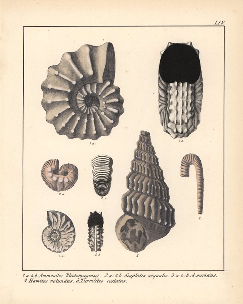 "Stock Photo: 4409-71436 Extinct gastropods and mollusks: Ammonites Rhotomagensis, Scaphites aequalis, A. varians, Hamites rotundus and Turrilites costatus. Handcoloured lithograph by an unknown artist from Dr. F.A. Schmidt's ""Petrefactenbuch,"" published in Stuttgart, Germany, 1855 by Verlag von Krais & Hoffmann. Dr. Schmidt's ""Book of Petrification"" introduced fossils and palaeontology to both the specialist and general reader."