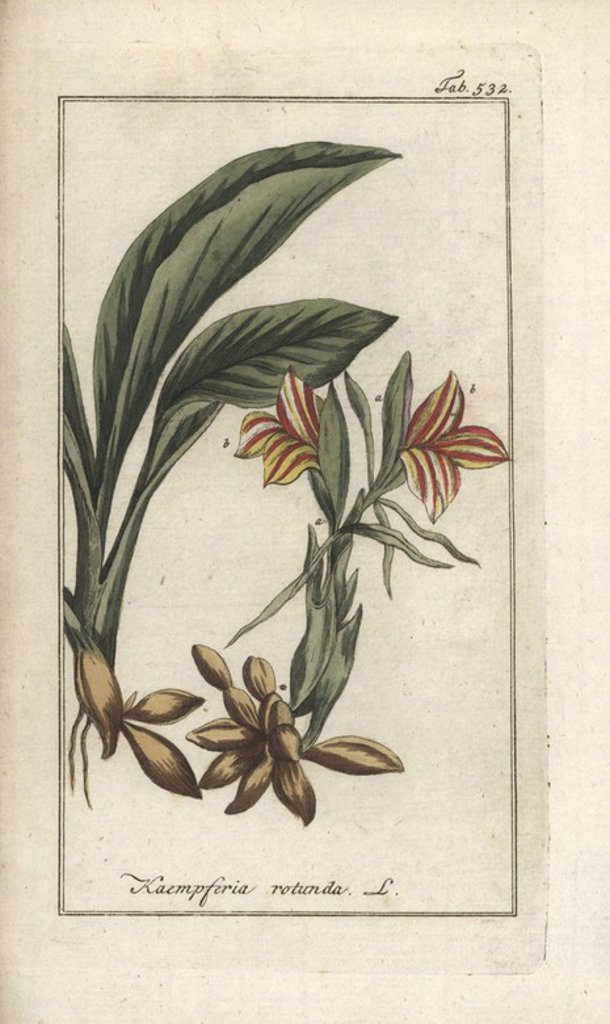"Stock Photo: 4409-71557 Round-rooted galangale, Kaempferia rotunda. Handcoloured copperplate botanical engraving from Johannes Zorn's ""Afbeelding der Artseny-Gewassen,"" Jan Christiaan Sepp, Amsterdam, 1796. Zorn first published his illustrated medical botany in Nurnberg in 1780 with 500 plates, and a Dutch edition followed in 1796 published by J.C. Sepp with an additional 100 plates. Zorn (1739-1799) was a German pharmacist and botanist who collected medical plants from all over Europe for his ""Icones plantarum medicin"