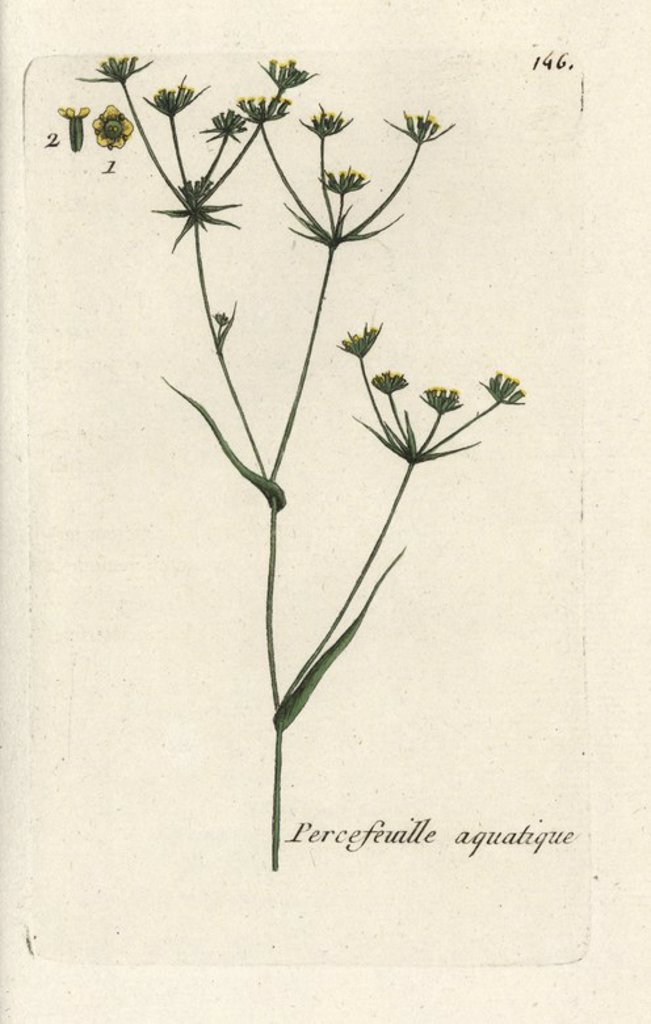 "Stock Photo: 4409-71572 Hare's ear, Bupleurum rotundifolium junceum. Handcoloured botanical drawn and engraved by Pierre Bulliard from his own ""Flora Parisiensis,"" 1776, Paris, P. F. Didot. Pierre Bulliard (1752-1793) was a famous French botanist who pioneered the three-colour-plate printing technique. His introduction to the flowers of Paris included 640 plants."