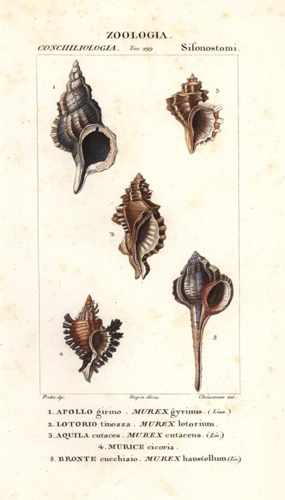 "Stock Photo: 4409-71578 Murex gyrinus, Murex lotorium, Murex cutaceus, Murice cicoria and Haustellum rock snails. Handcoloured copperplate stipple engraving from Jussieu's ""Dictionary of Natural Science,"" Florence, Italy, 1837. Illustration by J. G. Pretre, engraved by Chiussone, directed by Pierre Jean-Francois Turpin, and published by Batelli e Figli. Jean Gabriel Pretre (1780~1845) was painter of natural history at Empress Josephine's zoo and later became artist to the Museum of Natural History."