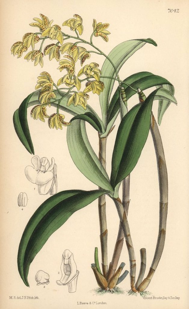"Dendrobium gracilicaule, pale yellow orchid native of eastern Australia. Hand-coloured botanical illustration drawn by Matilda Smith and lithographed by J.N. Fitch from Joseph Dalton Hooker's ""Curtis's Botanical Magazine,"" 1889, L. Reeve & Co. A second-cousin and pupil of Sir Joseph Dalton Hooker, Matilda Smith (1854-1926) was the main artist for the Botanical Magazine from 1887 until 1920 and contributed 2,300 illustrations. : Stock Photo"