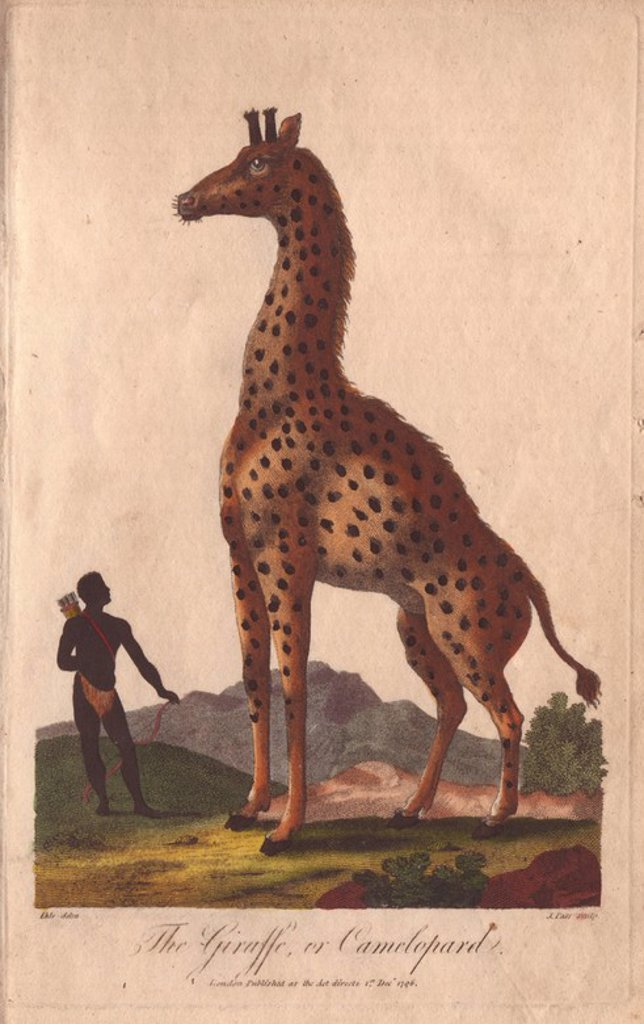 "Stock Photo: 4409-71749 Giraffe or camelopard, towering over a native with bow and arrows. . Giraffa camelopardalis. . Hand-colored copperplate engraving from a drawing by Johann Ihle from Ebenezer Sibly's ""Universal System of Natural History"" 1794. . . The prolific Sibly published his Universal System of Natural History in 1794~1796 in five volumes covering the three natural worlds of fauna, flora and geology. The series included illustrations of mythical beasts such as the sukotyro and the mermaid, and depicted sloth"