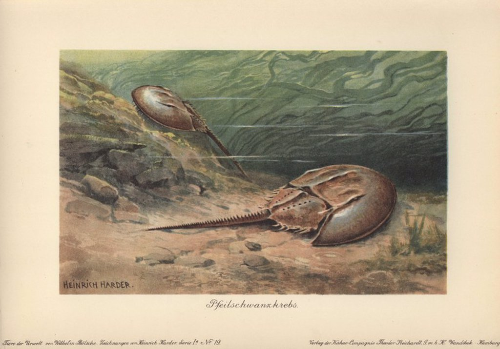 "Stock Photo: 4409-71752 The Atlantic horseshoe crab (Limulus polyphemus) is a marine chelicerate arthropod. . . Colour printed illustration by Heinrich Harder from ""Tiere der Urwelt"" Animals of the Prehistoric World, 1916, Hamburg. Heinrich Harder (1858-1935) was a German landscape artist and book illustrator. From a series of prehistoric creature cards published by the Reichardt Cocoa company. Natural historian Wilhelm Bolsche wrote the descriptive text."
