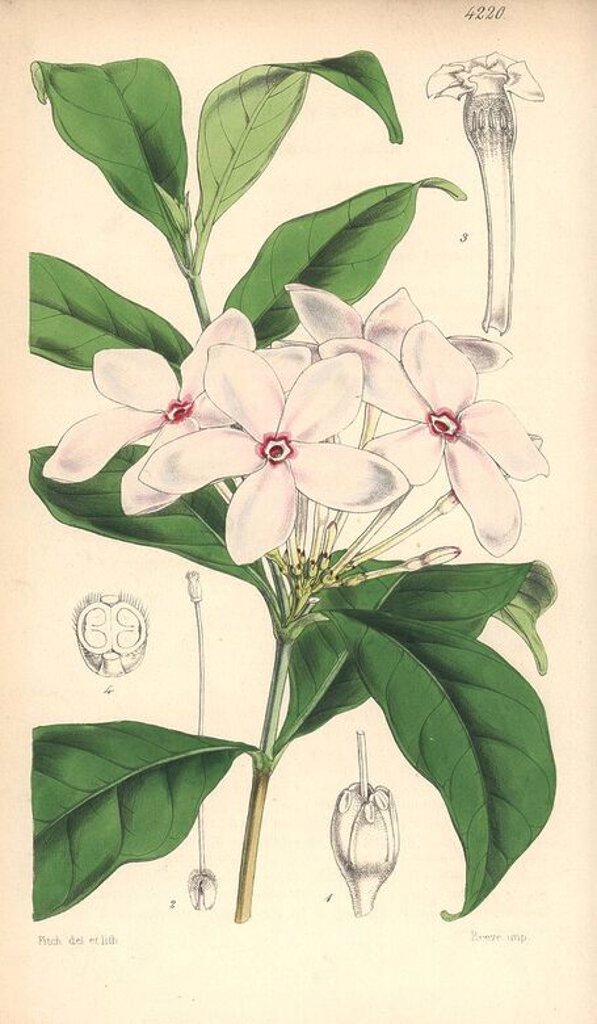 "Shrubby kopsia, Kopsia fruticosa. Hand-coloured botanical illustration drawn and lithographed by Walter Hood Fitch for Sir William Jackson Hooker's ""Curtis's Botanical Magazine,"" London, Reeve Brothers, 1846. Fitch (1817~1892) was a tireless Scottish artist who drew over 2,700 lithographs for the ""Botanical Magazine"" starting from 1834. : Stock Photo"