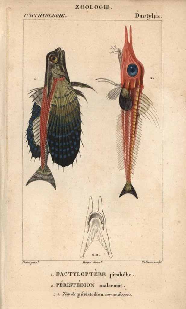 "Stock Photo: 4409-71773 Flying gurnard, Dactylopterus volitans, Dactyloptere pirabebe, and African armoured searobin, Peristedion malarmat, Peristedion cataphractum. Handcoloured copperplate stipple engraving from Jussieu's ""Dictionnaire des Sciences Naturelles"" 1816-1830. The volumes on fish and reptiles were edited by Hippolyte Cloquet, natural historian and doctor of medicine. Illustration by J.G. Pretre, engraved by Talbeau, directed by Turpin, and published by F. G. Levrault. Jean Gabriel Pretre (1780~1845) was pa"