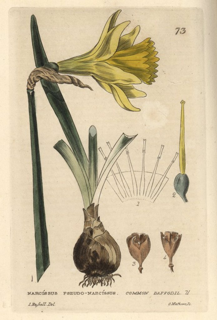 "Stock Photo: 4409-71810 Daffodil, Narcissus pseudo-narcissus. Handcoloured copperplate engraving from a drawing by Isaac Russell from William Baxter's ""British Phaenogamous Botany"" 1834. Scotsman William Baxter (1788-1871) was the curator of the Oxford Botanic Garden from 1813 to 1854."