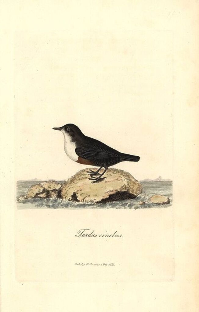 "Stock Photo: 4409-71851 White-throated dipper or water ouzel, Cinclus cinclus. Handcoloured copperplate drawn and engraved by George Graves from his own ""British Ornithology,"" Walworth, 1821. Graves was a bookseller, publisher, artist, engraver and colorist and worked on botanical and ornithological books."