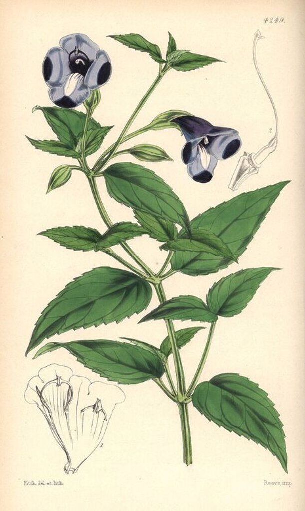 "Stock Photo: 4409-71866 Large-flowered torenia, Torenia asiatica. Hand-coloured botanical illustration drawn and lithographed by Walter Hood Fitch for Sir William Jackson Hooker's ""Curtis's Botanical Magazine,"" London, Reeve Brothers, 1846. Fitch (1817~1892) was a tireless Scottish artist who drew over 2,700 lithographs for the ""Botanical Magazine"" starting from 1834."