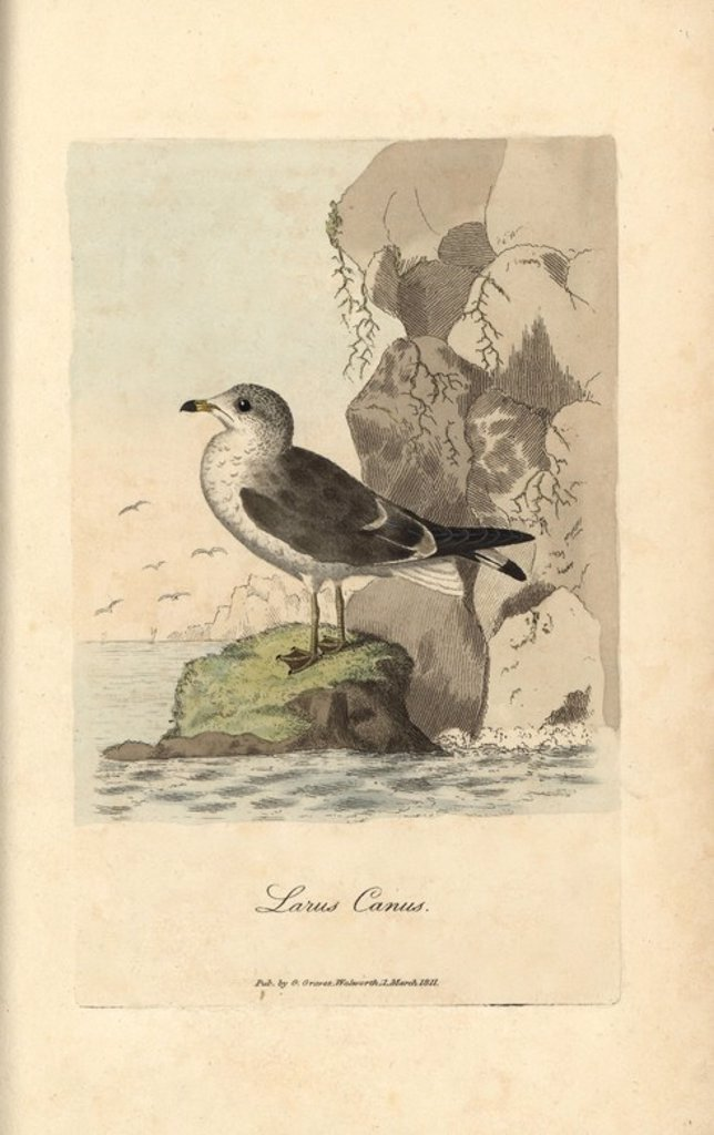 "Stock Photo: 4409-71909 Seagull, common gull, Larus canus. Handcoloured copperplate engraving by George Graves from ""British Ornithology"" 1811. Graves was a bookseller, publisher, artist, engraver and colorist and worked on botanical and ornithological books."