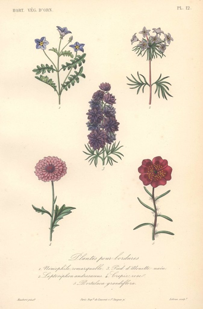 "Stock Photo: 4409-71914 Five border plants including blue nemophila, blue false babystars, purple larkspur (Delphinium), pink crepin rose, and scarlet purslane (Portulaca).. . Plantes Pour Bordures: 1) Nemophile Remarquable 2) Leptosiphon Androsaceus 3) Pied d'Alouette Nain 4) Crepin Rose 5) Portulaca Grandiflora . . Handcolored lithograph drawn by Edouard Maubert from Herincq's ""Le Regne Vegetal"" 1865."