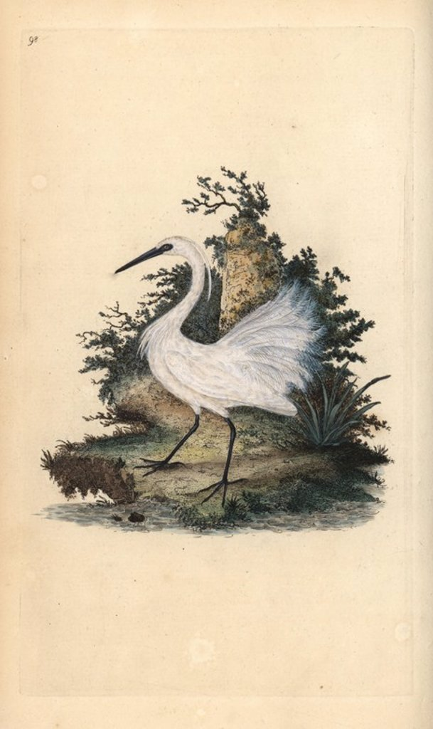 "Stock Photo: 4409-71917 Little egret, Egretta garzetta. Handcoloured copperplate drawn and engraved by Edward Donovan from his own ""Natural History of British Birds,"" London, 1794-1819. Edward Donovan (1768-1837) was an Anglo-Irish amateur zoologist, writer, artist and engraver. He wrote and illustrated a series of volumes on birds, fish, shells and insects, opened his own museum of natural history in London, but later he fell on hard times and died penniless."