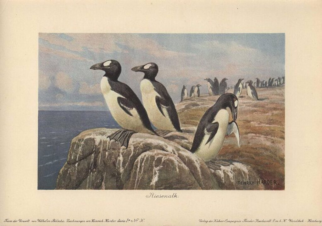 "Great auks standing on the edge of a cliff. The Great Auk (Pinguinus impennis) was a large, flightless alcid bird that became extinct in the mid-19th century.. . Colour printed illustration by Heinrich Harder from ""Tiere der Urwelt"" Animals of the Prehistoric World, 1916, Hamburg. Heinrich Harder (1858-1935) was a German landscape artist and book illustrator. From a series of prehistoric creature cards published by the Reichardt Cocoa company. Natural historian Wilhelm Bolsche wrote the descript : Stock Photo"