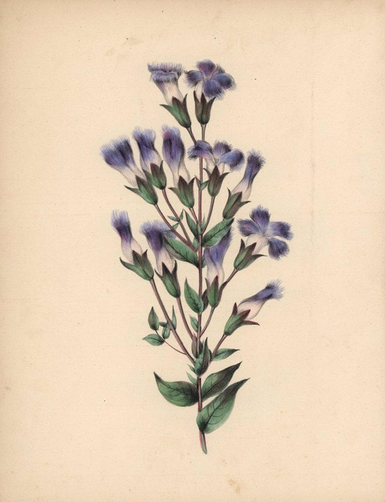 "Stock Photo: 4409-72030 Fringed gentian with blue, lilac and white flowers, fringed petals. Gentiana crinita. Illustration by Clarissa Badger, nee Munger, from ""Wild Flowers, Drawn and Colored from Nature,"" New York, 1859. . Clarissa Munger (1806-1889) was born into an artistic family in East Guilford, Connecticut. Her father George was an engraver and miniaturist, and her sister Caroline painted portraits. Clarissa married the Rev. Milton Badger in 1828, and in 1848 published ""Forget Me Not"" with original watercolors,"