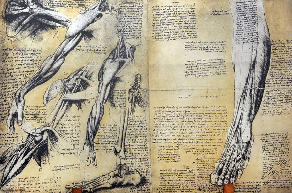 """Stock Photo: 4409-72863 HISTORIA DE LA MEDICINA. Estudio de la estructura de un músculo. Leonardo Da Vinci estudia el cuerpo humano, sus músculos y proprociones para aplicarlo en sus representaciones artísticas. Estudia los músculos faciales que expresan los sentimientos. Compara las estructuras y las articulaciones de las manos y los pies con la de otros mamíferos. Leonardo sienta las bases de la hoy llamada """"anatomía compartive"""". Museo Nacional de la Ciencia y la Tecnología Leonardo Da Vinci. Milán. Italia."""