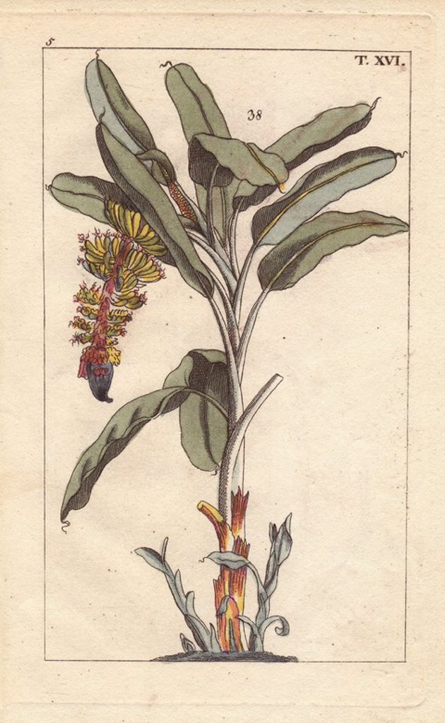 "Stock Photo: 4409-83628 Banana tree with flower and fruit, Musa paradisiaca. Handcolored copperplate engraving of a botanical illustration by J. Schaly from G. T. Wilhelm's ""Unterhaltungen aus der Naturgeschichte"" (Encyclopedia of Natural History), Vienna, 1816. Gottlieb Tobias Wilhelm (1758-1811) was a Bavarian clergyman and naturalist in Augsburg, where the first edition was published."