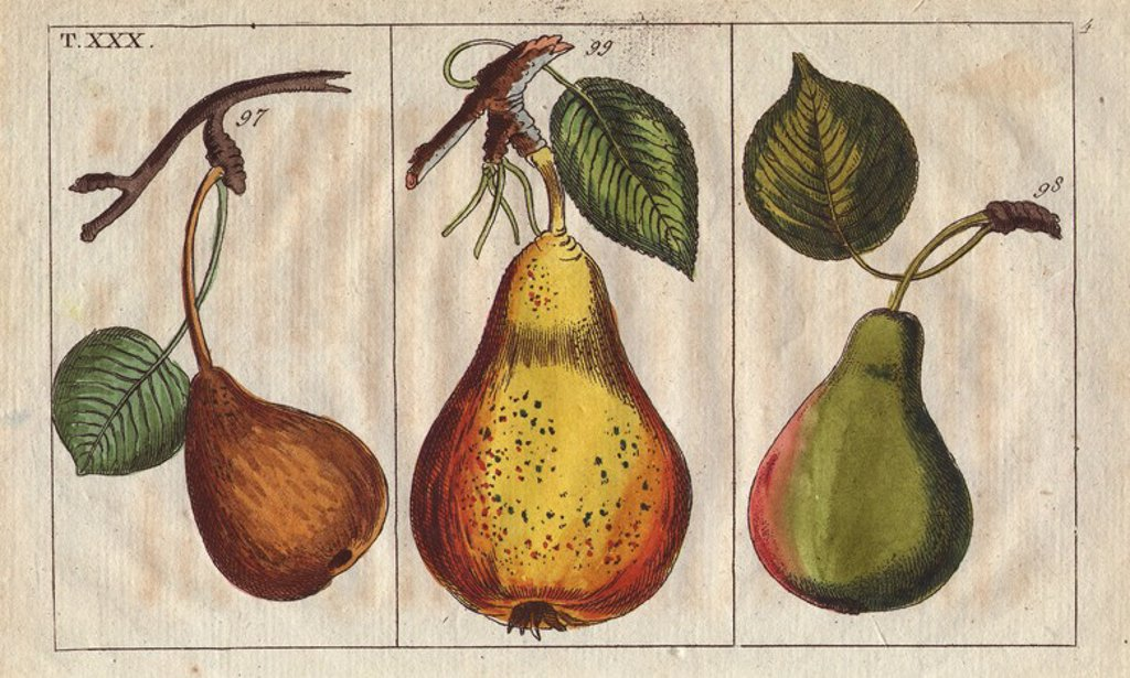 """Pear varieties, Pyrus communis: small Pfalzgrafin pear, Demoiselle and Windsor.. Handcolored copperplate engraving of a botanical illustration from G. T. Wilhelm's """"Unterhaltungen aus der Naturgeschichte"""" (Encyclopedia of Natural History), Vienna, 1816. Gottlieb Tobias Wilhelm (1758-1811) was a Bavarian clergyman and naturalist in Augsburg, where the first edition was published. : Stock Photo"""