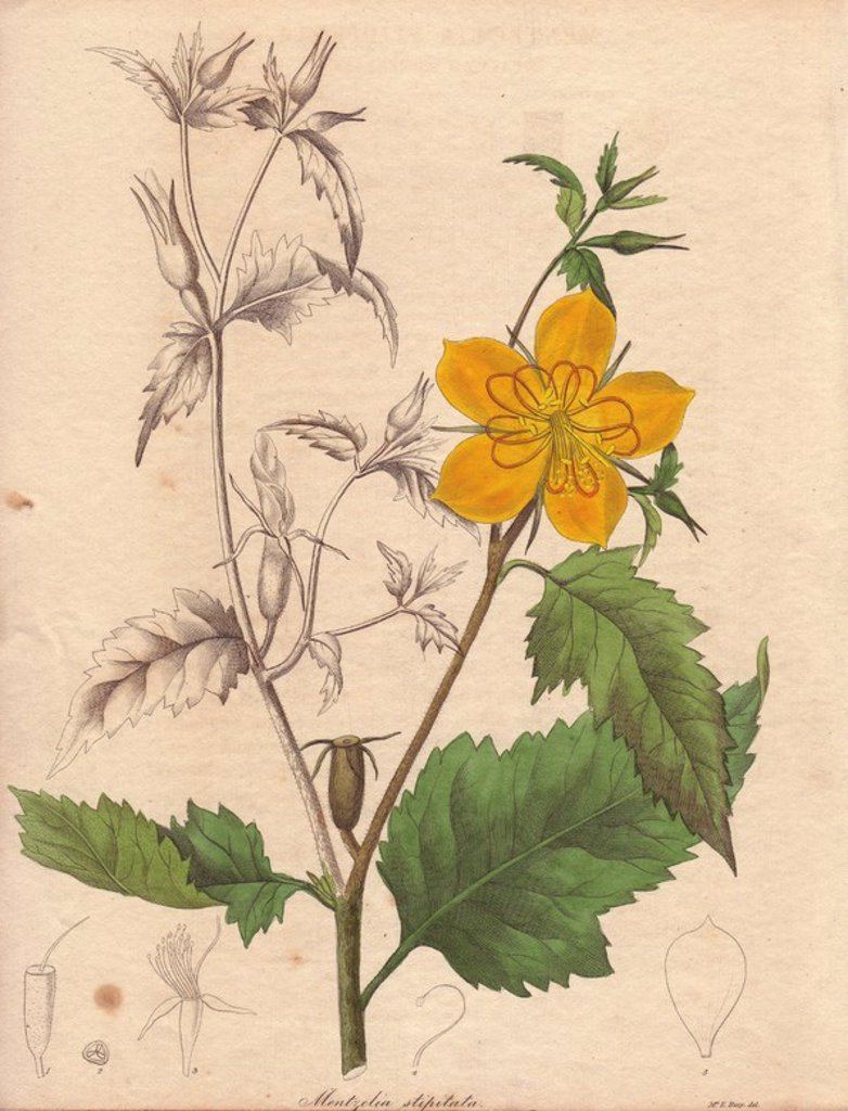 Stock Photo: 4409-83725 Mentzelia stipitata 34. . Stalked mentzelia . . Illustration by Mrs. Priscilla Bury. With partly coloured plant, and engraved dissections of petal, fruit, stamens, etc. . . Benjamin Maund's The Botanist was a five-volume series that introduced 250 new plants from 1836 to 1842. The series is notable for its many female artists: the plates were drawn by Maund's daughters Sarah and Eliza, Augusta Withers, Priscilla Bury, Jane Taylor, Miss R. Mills among others. The other characteristic is partial c