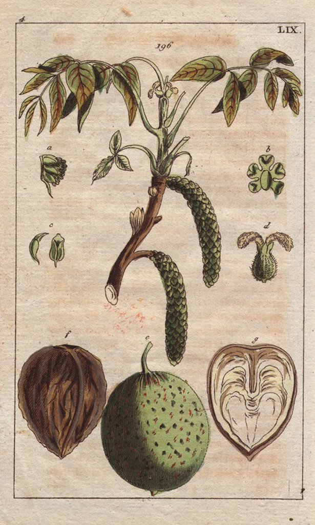 "Fruit, leaves, flowers and catkins of the walnut tree, Juglans regia. Handcolored copperplate engraving of a botanical illustration from G. T. Wilhelm's ""Unterhaltungen aus der Naturgeschichte"" (Encyclopedia of Natural History), Vienna, 1816. Gottlieb Tobias Wilhelm (1758-1811) was a Bavarian clergyman and naturalist in Augsburg, where the first edition was published. : Stock Photo"