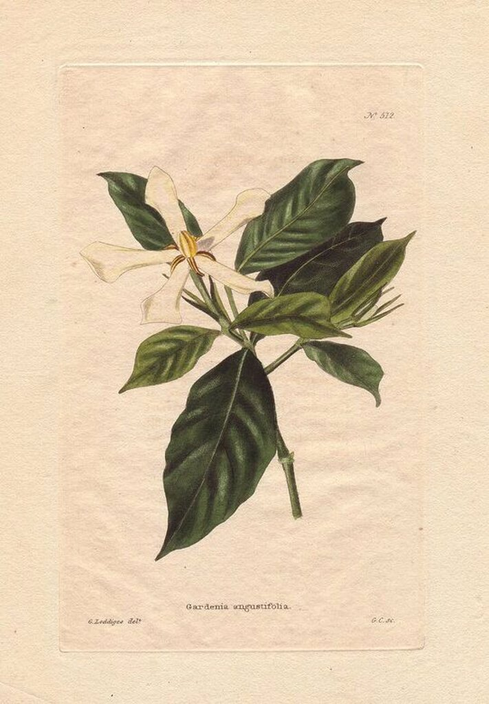 "Stock Photo: 4409-83833 Gardenia angustifolia. . White gardenia with narrow flowers and dark green foliage. ""It is a native of India and we believe was first sent home by the late Dr. Roxburgh to Sir Abraham Hume."" Named for Dr. Alexander Garden (1730~1791), a Scottish physician, naturalist and zoologist.. . Drawn by George Loddiges, engraved by G. Cooke. . . Conrad Loddiges and Sons published an illustrated catalogue of the nursery's plants entitled the Botanical Cabinet. The monthly magazine featured 10 hand-coloured"