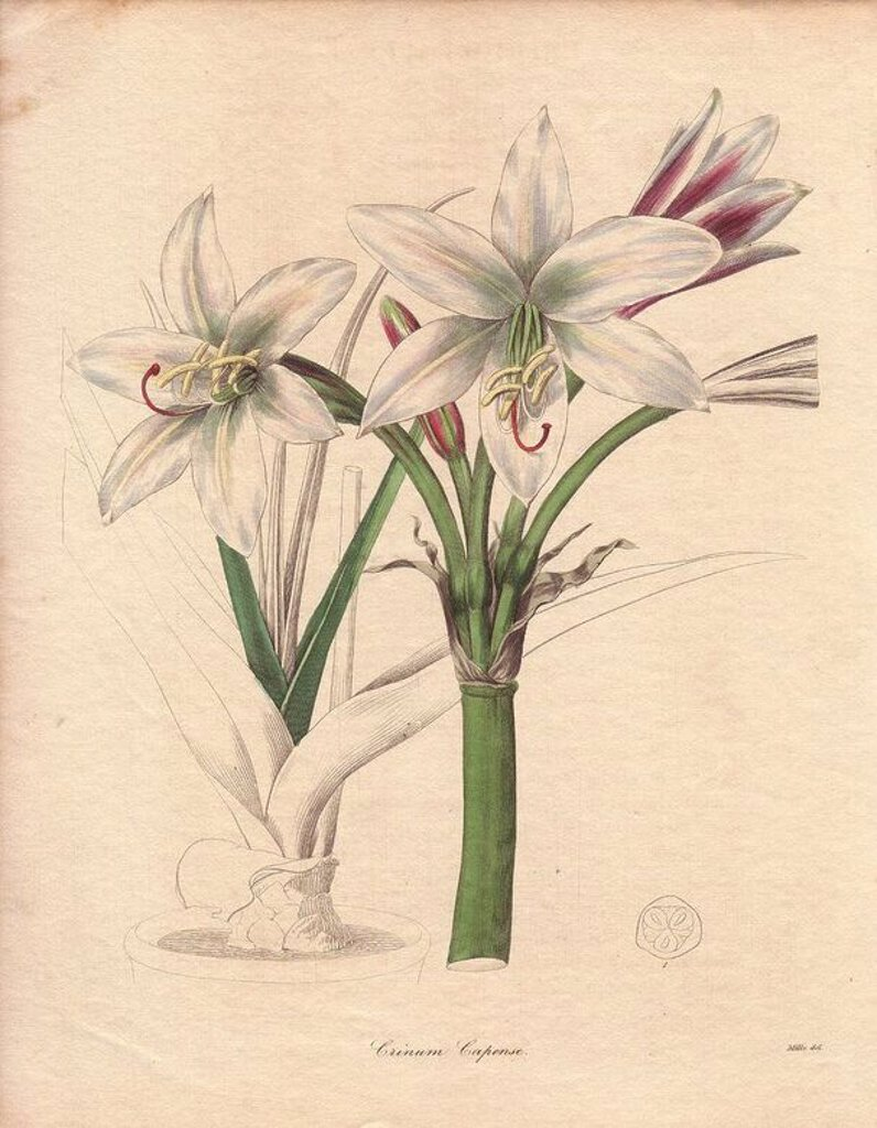 A white-flowered spider lily (Crinum capense) named for its homeland, the Cape (South Africa). Illustration by Miss R. Mills, active 1836~1842: she was also the main illustrator for Knowles and Westcott's The Floral Cabinet (1837-1842). . . Benjamin Maund's The Botanist was a five-volume series that introduced 250 new plants from 1836 to 1842. The series is notable for its many female artists: the plates were drawn by Maund's daughters Sarah and Eliza, Augusta Withers, Priscilla Bury, Jane Taylo : Stock Photo
