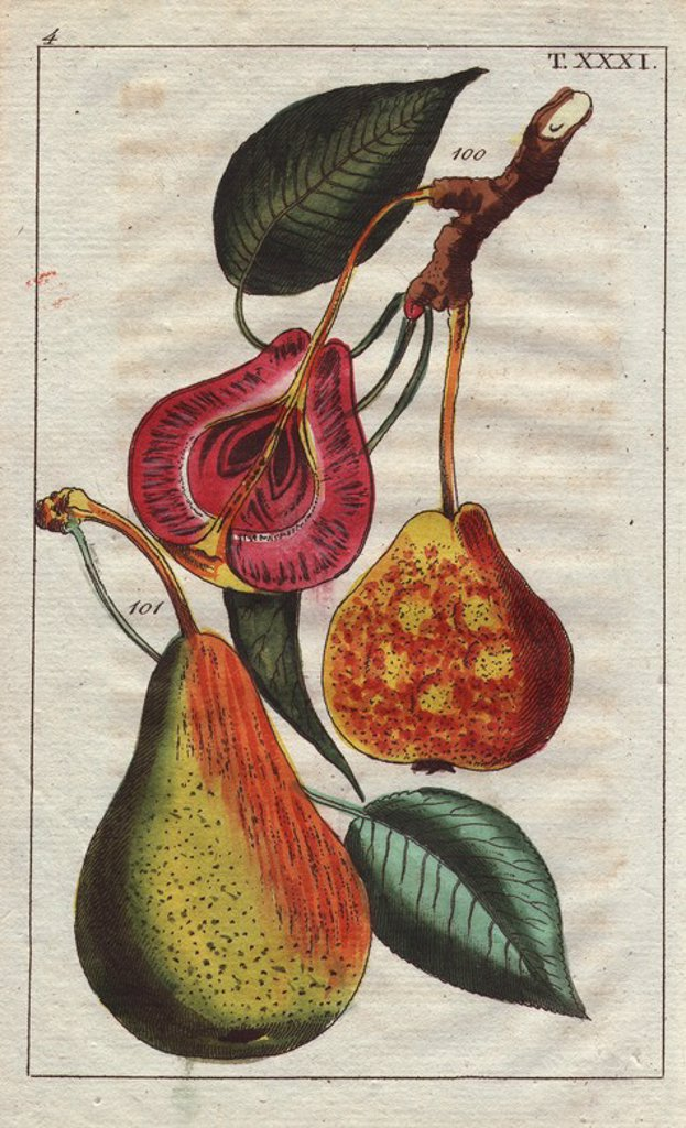 "Stock Photo: 4409-83948 Pear varieties, Pyrus communis: Blood and Madame pears. Handcolored copperplate engraving of a botanical illustration from G. T. Wilhelm's ""Unterhaltungen aus der Naturgeschichte"" (Encyclopedia of Natural History), Vienna, 1816. Gottlieb Tobias Wilhelm (1758-1811) was a Bavarian clergyman and naturalist in Augsburg, where the first edition was published."