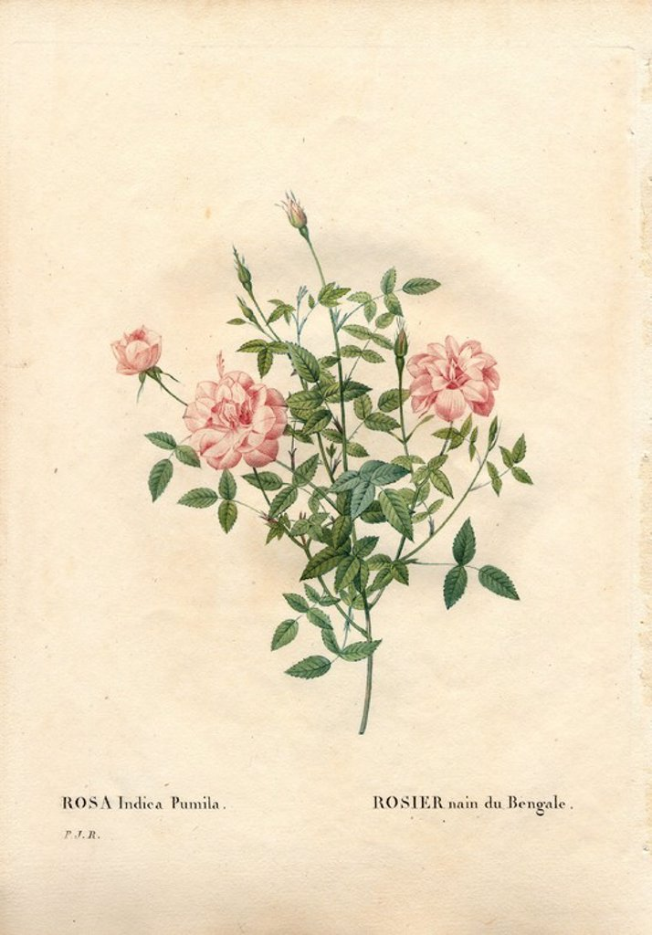 "Stock Photo: 4409-84133 Rouletii rose, Rosa chinensis var. minima Rouletii, Rosier nain du Bengale. Handcoloured stipple copperplate engraving from Pierre Joseph Redoute's ""Les Roses,"" Paris, 1828. Redoute was botanical artist to Marie Antoinette and Empress Josephine. He painted over 170 watercolours of roses from the gardens of Malmaison."