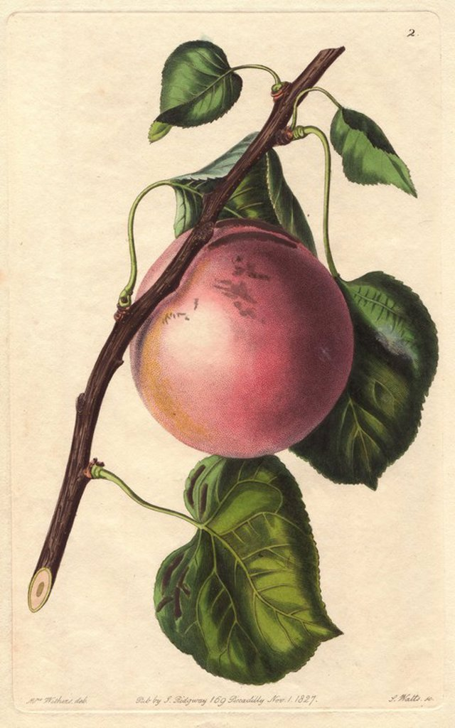"Stock Photo: 4409-84218 Royal apricot, Prunus armeniaca, raised in the Royal Garden of the Luxembourg. Handcoloured copperplate engraving by S. Watts from a botanical illustration by Augusta Withers from John Lindley's ""Pomological Magazine,"" James Ridgway, London, 1828. The magazine was published in three volumes from 1828 to 1830 and discontinued at plate 152 because of a dispute between the editors. Lindley (1795-1865) was an English botanist and gardener who published books on roses, orchids, and fruit. Mrs. Wither"