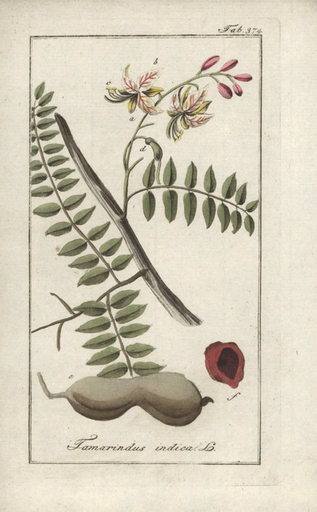 "Tamarind tree, Tamarindus indica. Handcoloured copperplate botanical engraving from Johannes Zorn's ""Afbeelding der Artseny-Gewassen,"" Jan Christiaan Sepp, Amsterdam, 1796. Zorn first published his illustrated medical botany in Nurnberg in 1780 with 500 plates, and a Dutch edition followed in 1796 published by J.C. Sepp with an additional 100 plates. Zorn (1739-1799) was a German pharmacist and botanist who collected medical plants from all over Europe for his ""Icones plantarum medicinalium"" for : Stock Photo"