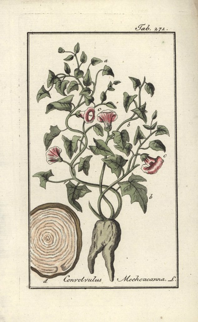"Mechoacanna root, Convolvulus mechoacanna. Handcoloured copperplate botanical engraving from Johannes Zorn's ""Afbeelding der Artseny-Gewassen,"" Jan Christiaan Sepp, Amsterdam, 1796. Zorn first published his illustrated medical botany in Nurnberg in 1780 with 500 plates, and a Dutch edition followed in 1796 published by J.C. Sepp with an additional 100 plates. Zorn (1739-1799) was a German pharmacist and botanist who collected medical plants from all over Europe for his ""Icones plantarum medicina : Stock Photo"