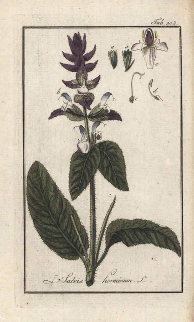 "Stock Photo: 4409-84577 Annual clary or orval, Salvia viridis. Handcoloured copperplate botanical engraving from Johannes Zorn's ""Afbeelding der Artseny-Gewassen,"" Jan Christiaan Sepp, Amsterdam, 1796. Zorn first published his illustrated medical botany in Nurnberg in 1780 with 500 plates, and a Dutch edition followed in 1796 published by J.C. Sepp with an additional 100 plates. Zorn (1739-1799) was a German pharmacist and botanist who collected medical plants from all over Europe for his ""Icones plantarum medicinalium"