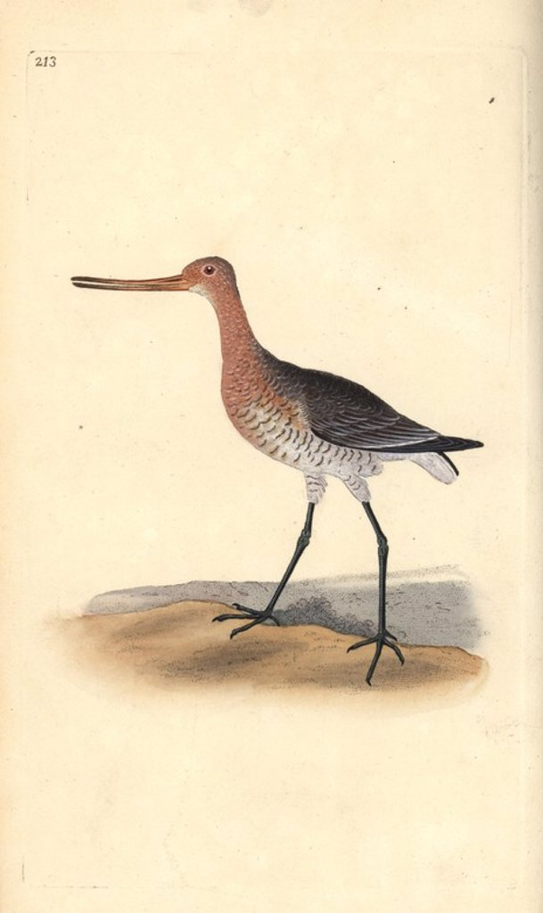 "Bar-tailed godwit (female), Limosa lapponica. Handcoloured copperplate drawn and engraved by Edward Donovan from his own ""Natural History of British Birds,"" London, 1794-1819. Edward Donovan (1768-1837) was an Anglo-Irish amateur zoologist, writer, artist and engraver. He wrote and illustrated a series of volumes on birds, fish, shells and insects, opened his own museum of natural history in London, but later he fell on hard times and died penniless. : Stock Photo"