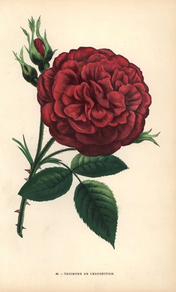 "Triomphe de l'exposition rose, hybrid rose raised by Monsieur Margottin of Bourg-la-Reine and awarded a top prize at the Exposition Universelle in Paris 1855. Chromolithograph drawn and lithographed after nature by F. Grobon from Hippolyte Jamain and Eugene Forney's ""Les Roses,"" Paris, J. Rothschild, 1873. Jamain was a rose grower and Forney a professor of arboriculture. François Frédéric Grobon (1815-1901) ran his own atelier and illustrated ""Fleurs"" after Redoute with his brother Anthelme as t : Stock Photo"