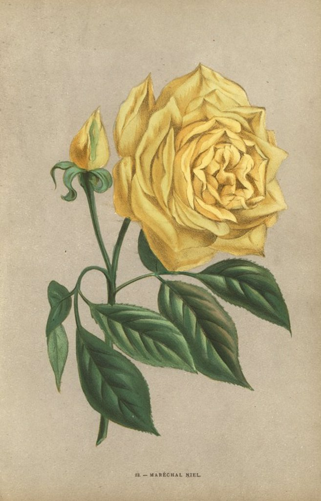 "Stock Photo: 4409-84673 Marechal Niel rose, yellow variety of the noisette rose raised by Monsieur Pradel at Montauban in 1864. Chromolithograph drawn and lithographed after nature by F. Grobon from Hippolyte Jamain and Eugene Forney's ""Les Roses,"" Paris, J. Rothschild, 1873. Jamain was a rose grower and Forney a professor of arboriculture. François Frédéric Grobon (1815-1901) ran his own atelier and illustrated ""Fleurs"" after Redoute with his brother Anthelme as the Grobon freres."