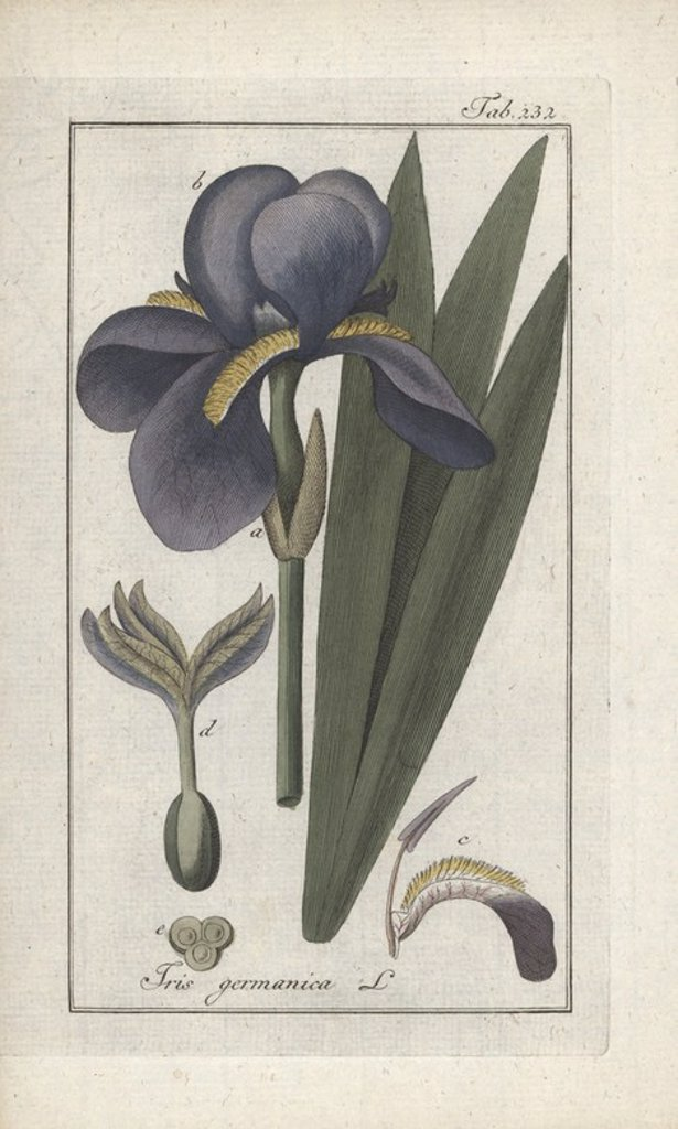 "Stock Photo: 4409-84711 German iris, Iris germanica. Handcoloured copperplate botanical engraving from Johannes Zorn's ""Afbeelding der Artseny-Gewassen,"" Jan Christiaan Sepp, Amsterdam, 1796. Zorn first published his illustrated medical botany in Nurnberg in 1780 with 500 plates, and a Dutch edition followed in 1796 published by J.C. Sepp with an additional 100 plates. Zorn (1739-1799) was a German pharmacist and botanist who collected medical plants from all over Europe for his ""Icones plantarum medicinalium"" for apot"