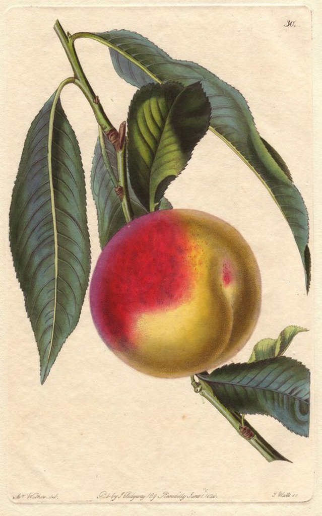"Stock Photo: 4409-84766 Madeleine de Courson or red magdalen peach, Prunus persica. Handcoloured copperplate engraving by S. Watts from a botanical illustration by Augusta Withers from John Lindley's ""Pomological Magazine,"" James Ridgway, London, 1828. The magazine was published in three volumes from 1828 to 1830 and discontinued at plate 152 because of a dispute between the editors. Lindley (1795-1865) was an English botanist and gardener who published books on roses, orchids, and fruit. Mrs. Withers (1793-1877) was a"